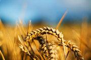 Продаем семена озимой пшеницы оптом,  семена озимой пшеницы Элита