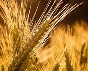 Продаем семена яровой пшеницы оптом,  семена сои в Украине