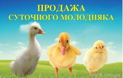 Продаж і прийом замовлення на добовий та підрощений молодняк птиці