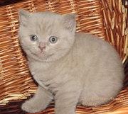 шотландский котенок лиловый