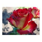 Cаженцы роз коллекционных сортов