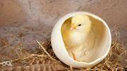 Продам птицу в  Харьковской,  Сумской,  Полтавской,  Черниговской области