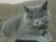 Ищу британского кота