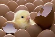 Продаем оптом инкубационное яйцо бройлера ROSS 308
