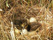 Продаем оптом инкубационное яйцо утки