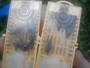 Продам пчелиные матки Украинской степной породы (плодные)