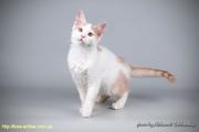 Котёнок очень редкой породы Афродита только в нашем питомнике