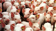 Продам поросят,  поросята,  свинки,  свинья,  мясная свинья,  месячные
