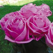 Лучшие саженцы роз от садовода-профессионала