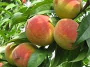 Элитные саженцы плодово-ягодных деревьев и кустарников! Огромный выбор