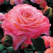 Лучшие саженцы роз от садовода профессионала