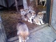 Продам  щенков  гибридов  2  поколения  ЗСЛ  и  Волка