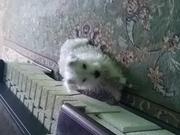 Продам щенка Вест хайленд Уайт терьер