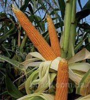 Продаются семена кукурузы,  разные сорта