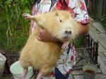 продам нутрии!!! свиньи разные от 300грн